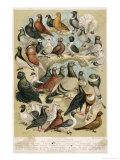 Fancy Pigeon Breeds Reproduction procédé giclée par A.f. Lydon
