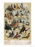 Fancy Pigeon Breeds Giclee Print by A.f. Lydon