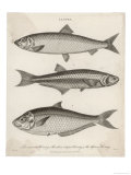 Three Types of Herring: 1. Common Herring 2. Silver-Striped Herring 3. African Herring Giclee Print by J. Pass