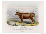 6-Year Old Kerry Cow Owned by the Earl of Clare Lámina giclée por Nicholson & Shields