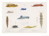 Selection of Molluscs Giclee Print by P. Lackerbauer