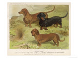 Three Varieties of Dachshund, Smooth Red and Black-And-Tan Giclee Print by Vero Shaw
