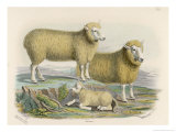 Ryeland Sheep: Ram and Ewe Bred by Mr. Tomkins of Kingspion Herefordshire Giclee Print by Nicholson & Shields