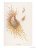 Lima Tenera a Variety of Shellfish with Orange Feathery Bits Giclée-tryk af P. Lackerbauer