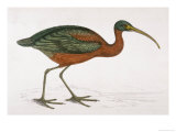Side View of an Ibis with Green and Red Feathers Giclee Print by Reverend Francis O. Morris