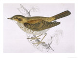 Song Thrush Giclee Print by Reverend Francis O. Morris