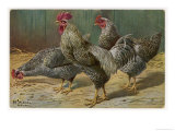 Black-Speckled Cock and Hens, Probably Silver-Laced Wyandottes Giclee Print by A. Schonian