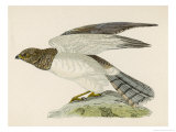 Hen Harrier Giclee Print by Reverend Francis O. Morris