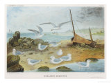 Herring Gulls Giclee Print by P. Lackerbauer