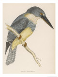 North American Belted Kingfisher Reproduction procédé giclée par Reverend Francis O. Morris