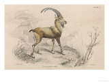 The European Ibex Giclee Print by  Lizars