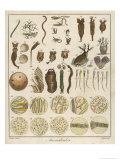 """Animacules,"" Microscopic Creatures as Seen Under a Microscope Giclee Print by Ebenezer Sibly"