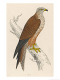 Red Kite Giclee Print by Reverend Francis O. Morris