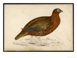 Red Grouse Giclee Print by Reverend Francis O. Morris