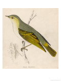 Wood Warbler Giclee Print by Reverend Francis O. Morris
