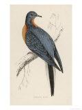 Passenger Pigeon Reproduction procédé giclée par Reverend Francis O. Morris