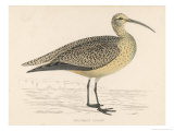 Eskimo Curlew Giclee Print by Reverend Francis O. Morris