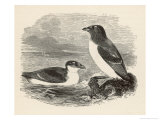 Little Auk Mergulus Alle Giclee Print by Howard Saunders