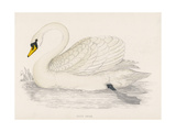 Mute Swan Giclee Print by Reverend Francis O. Morris