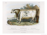 3-Year Old Shorthorn Bull Giclee Print by Nicholson & Shields