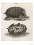 Common Hedgehog Seen from Two Different Angles Giclee Print by J. Pass