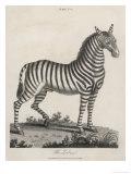 Zebra Giclee Print by J. Pass