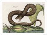 Vipera Fusca a Vicious Viper Giclee Print