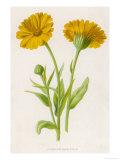 Common Marigold Giclee Print