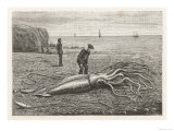 Architeuthis Princeps Stranded on a Newfoundland Beach Giclee Print