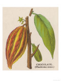 The Fruit of the Cocoa (Or Chocolate) Plant Theobroma Cacao Giclee Print