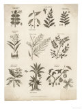 Mimosa Pepper Nutmeg Camphor and Other Herbs and Plants Giclée-Druck