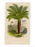 Palm Tree (Sago): Cycas Ruminiana Giclee Print