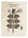 Camphor Tree Giclee Print