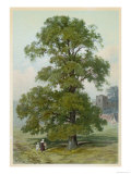 Common Elm Reproduction procédé giclée