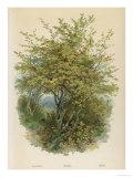 Hazel Tree Giclee Print