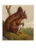 Red Squirrel Premium Giclee Print