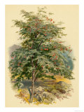 Mountain Ash or Rowan Tree Reproduction proc&#233;d&#233; gicl&#233;e