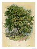 Walnut Tree Digitálně vytištěná reprodukce