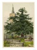 Yew Tree Giclee Print