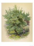 Plum Tree Giclee Print