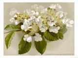 Var. Tomentosum Japanese Snowball Bush - Giclee Baskı