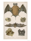 Various Species of Bat Giclee Print