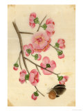 Oriental Style Depiction of Pink Cherry Blossom Showing the Branch Buds and Open Flowers Giclée-Druck