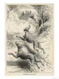 Two Dalmatians Also Known as Coach Dogs Follow and Protect a Carriage Giclée-tryk