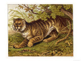 Fierce-Looking Tiger Emerges from the Indian Jungle Giclee Print