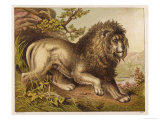 Fierce-Looking Lion from the Atlas Mountains of North Africa Giclee Print