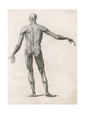 View of the Muscles in the Human Body Giclee Print
