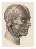 Detailed Diagram Showing Muscles and Veins Inside of the Head Giclee Print