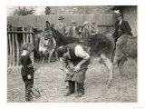 Shoeing (Hooving) a Donkey at a Farm in Deal Giclee Print