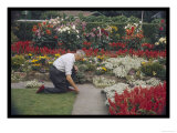 Man Crouches in His Colourful Garden Tending to the Border of His Lawn Lámina giclée